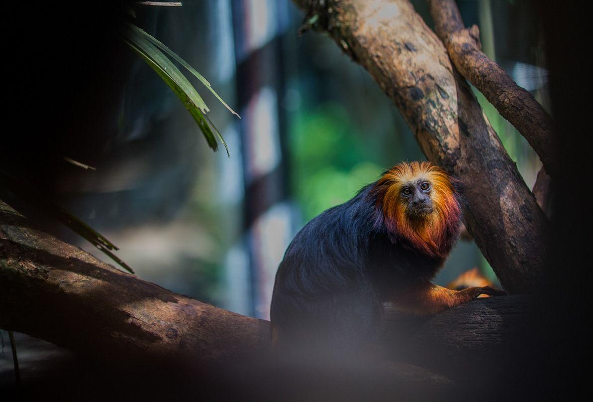 mico-leão-de-cabeça-dourada