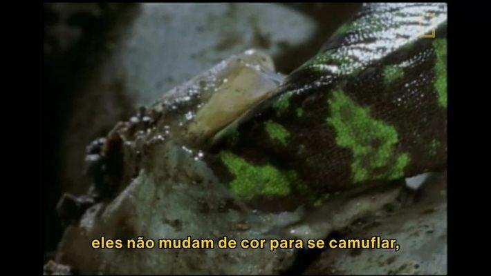 Camaleões bebês