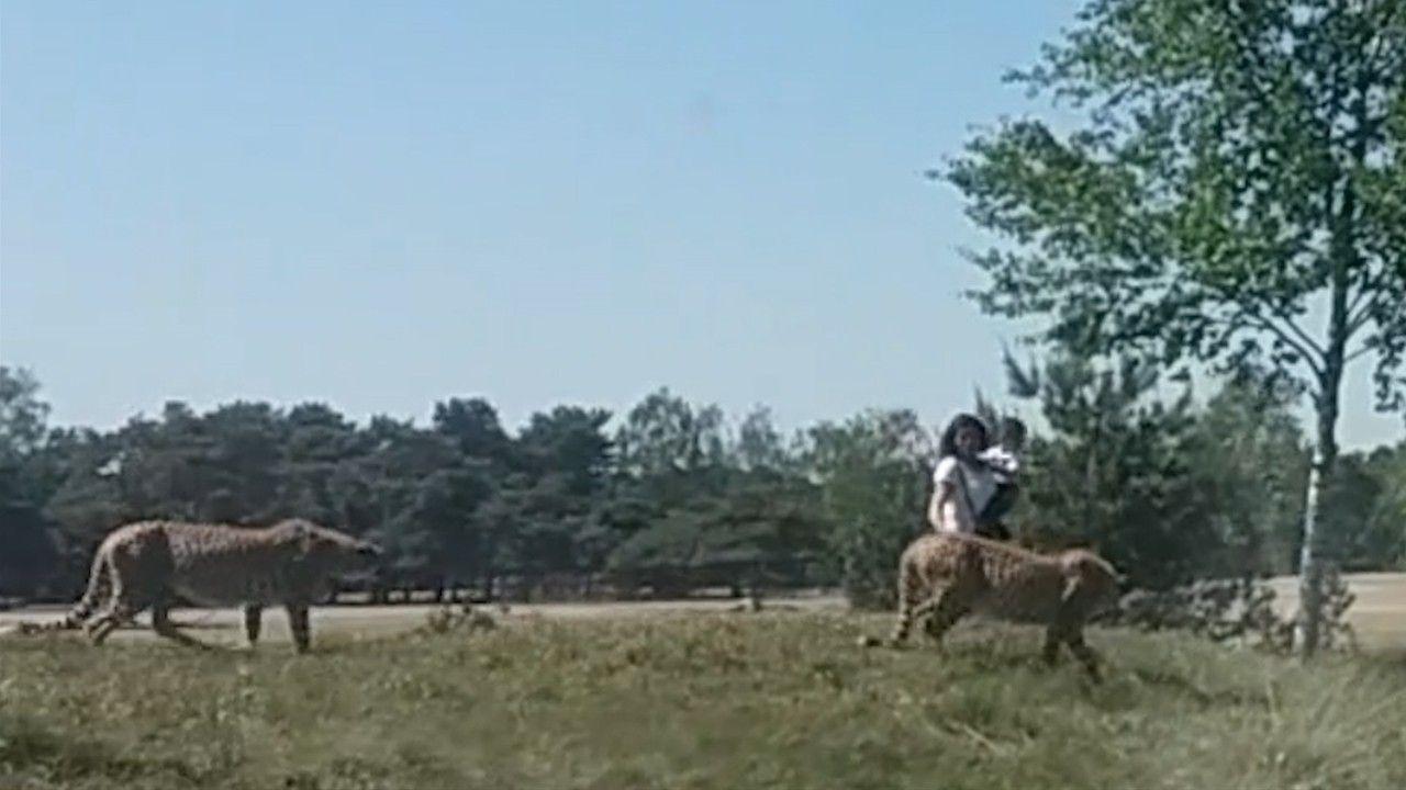 Família é perseguida por guepardos depois de sair do carro em safári | National Geographic