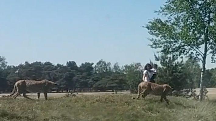Família é perseguida por guepardos depois de sair do carro em parque safári