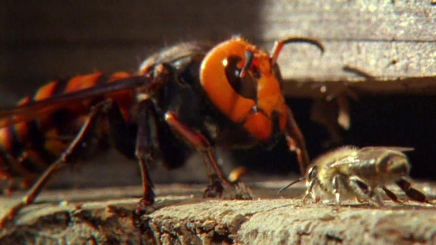 Clube da Luta Animal: Ataque das Abelhas Japonesas