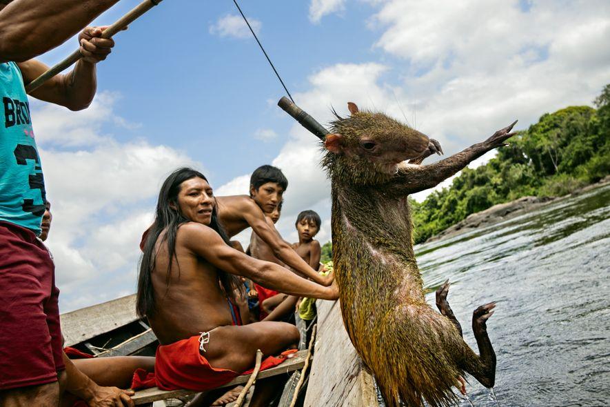 Os índios caçam uma cotia que atravessava o Rio Mukuru já mordida pelas piranhas. Caça e pesca são as principais fontes de alimentação do grupo.