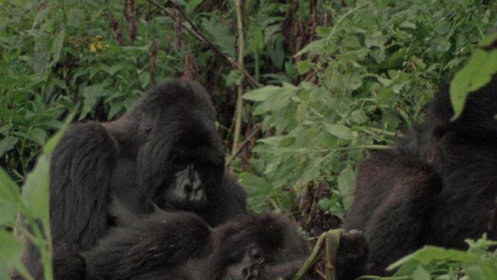 Dian Fossey: Mistérios de Uma Vida: Ajuda aos gorilas