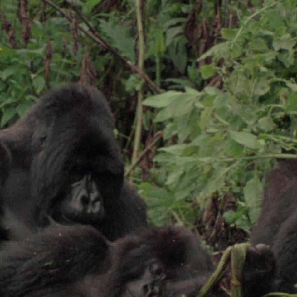 Ajuda aos gorilas