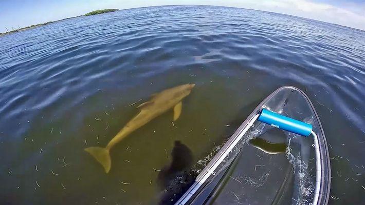"""Golfinho flagrado criando """"rede de lama"""" para caçar peixes"""