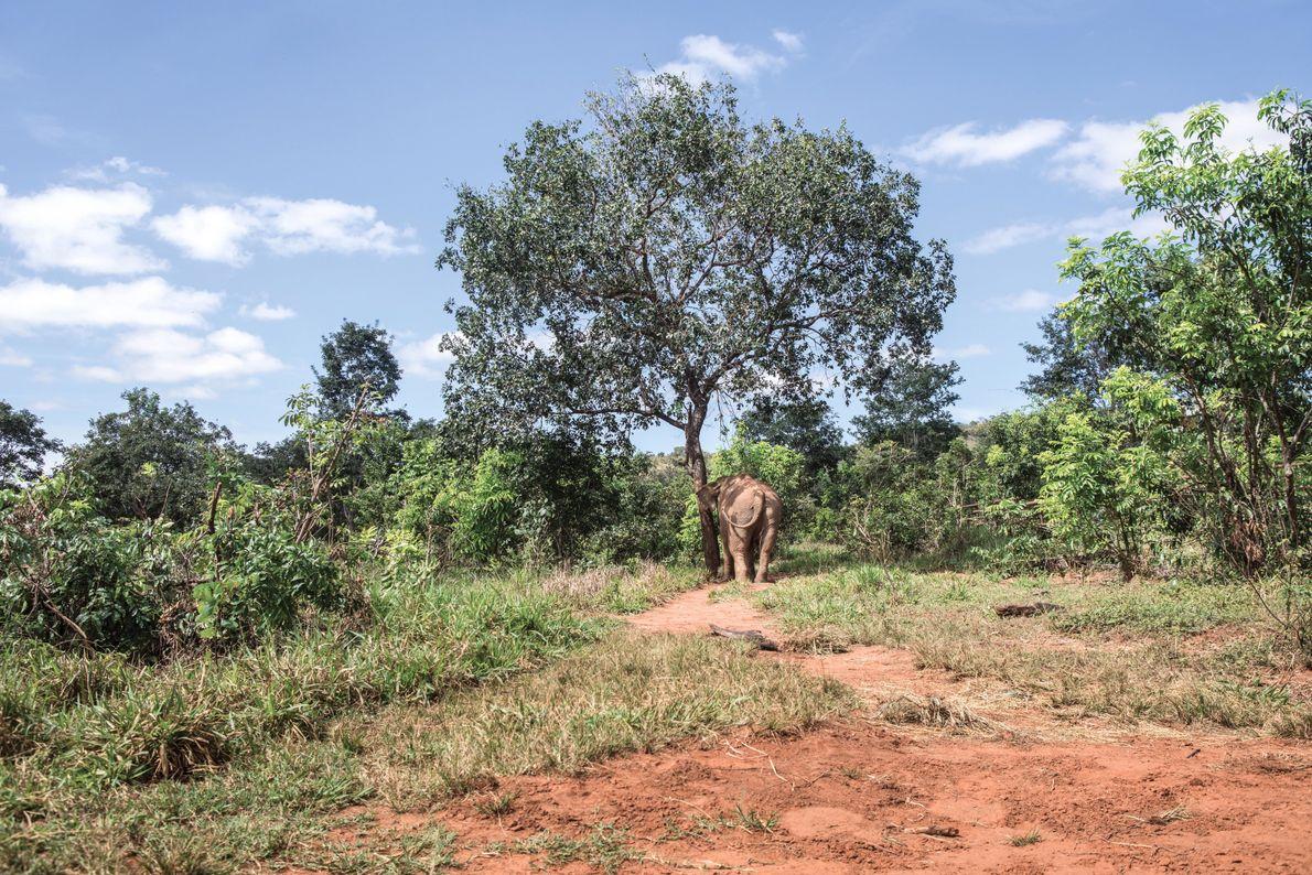 A elefanta reconhece os recantos de seu novo lar no Santuário de Elefantes no Brasil.