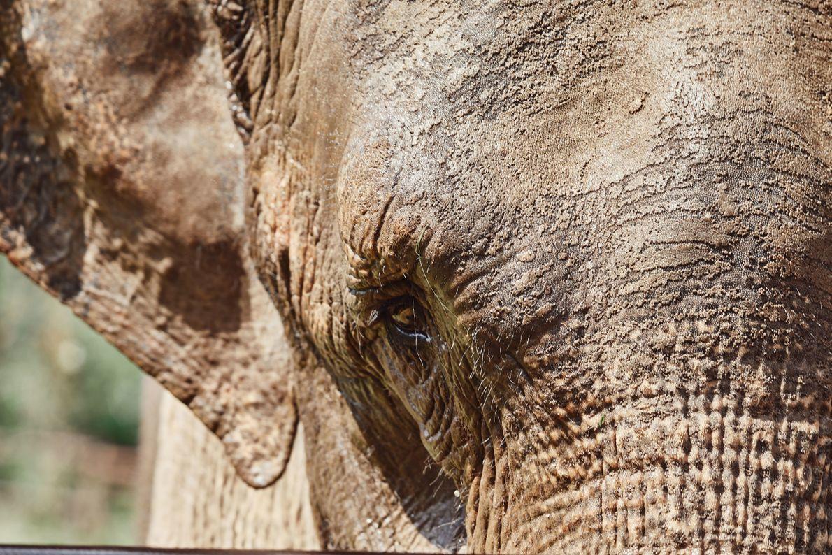 A elefanta que viveu grande parte de sua vida sendo transferida de circos a zoológicos foi levada, em ...