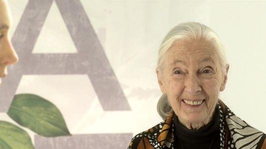 O caminho de Jane Goodall até os chimpanzés