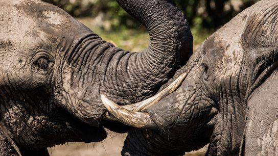 dois elefantes brincando