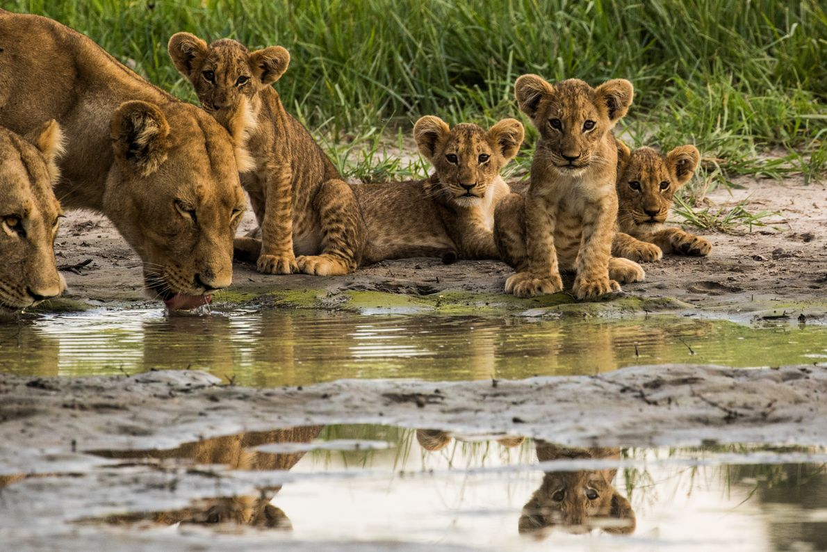 filhotes de leão em botswana