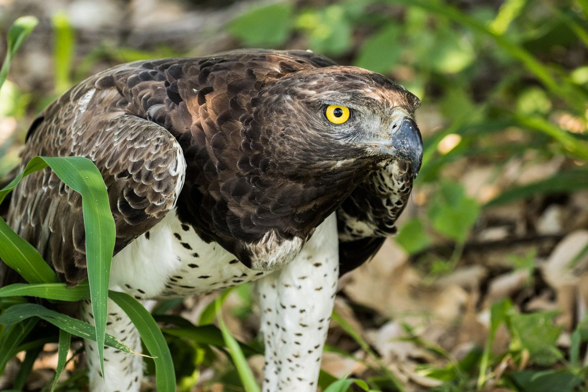 águia marcial buscando presa
