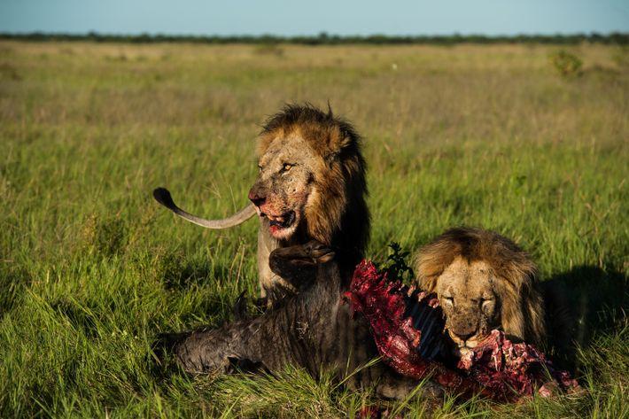 leões comem gnu
