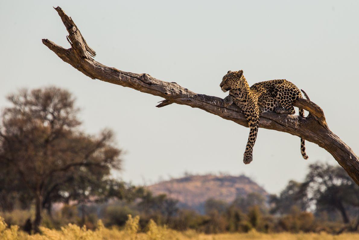 leopardo busca presa em árvore
