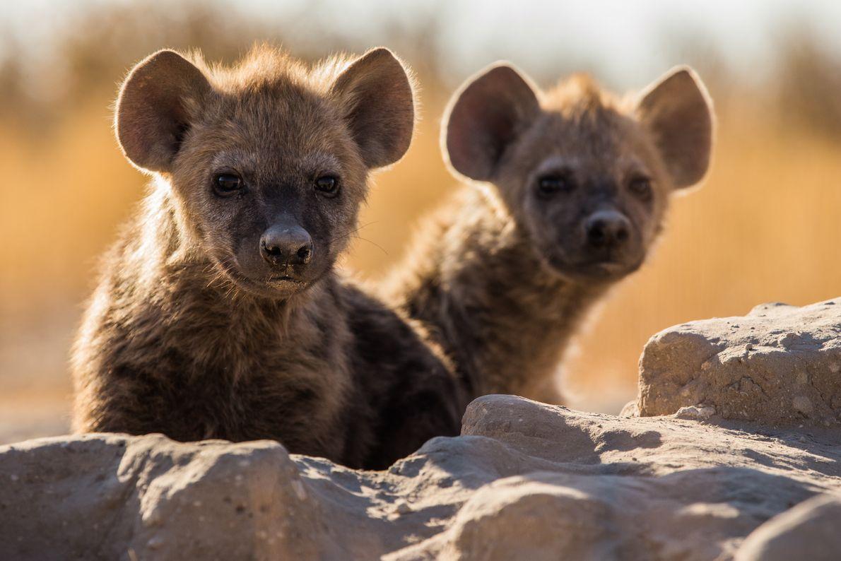 filhotes de hienas