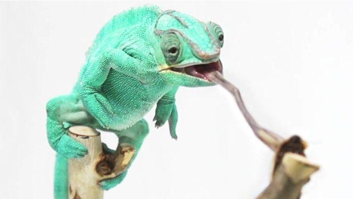 O verdadeiro motivo da troca de cor do camaleão