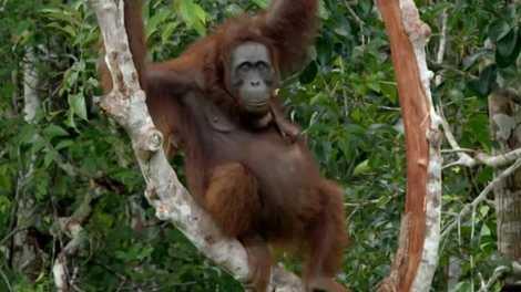 Expedição Oriente: Orangotangos