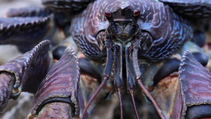 Crabzilla: como fotografar um caranguejo 'monstro'