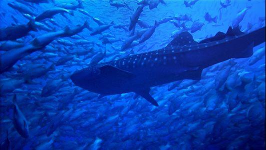 Tubarões-baleia nadam ao lado de peixes, mas parecem não se importar com eles