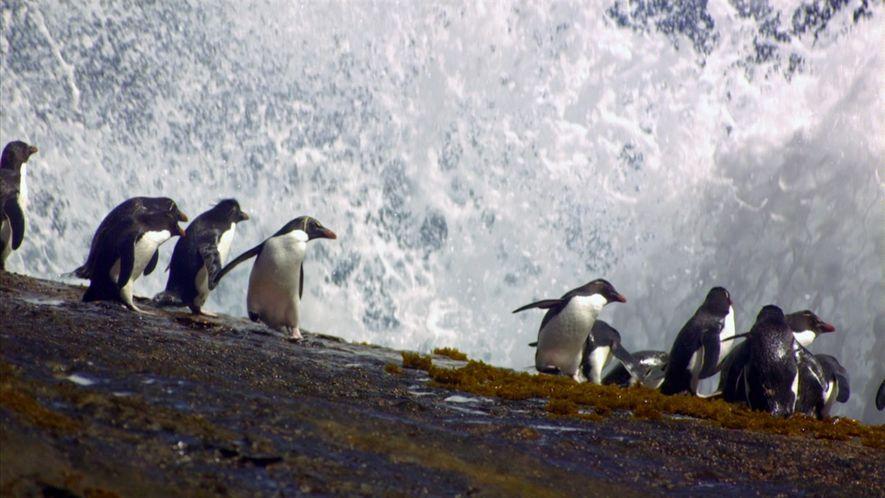 Por que estes pinguins estão pulando para fora da água?