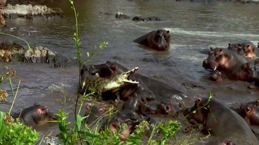 Só há uma coisa que faz o crocodilo-do-nilo tremer de medo: este bando de hipopótamos