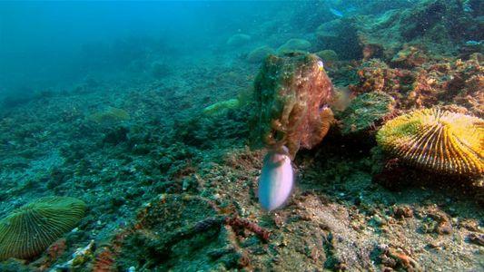 Coloridos e sorrateiros, os chocos são um dos animais mais curiosos dos oceanos
