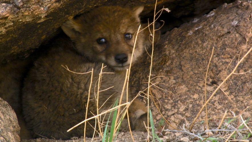 Lobos-tibetanos sofrem para conseguir comida nas estepes