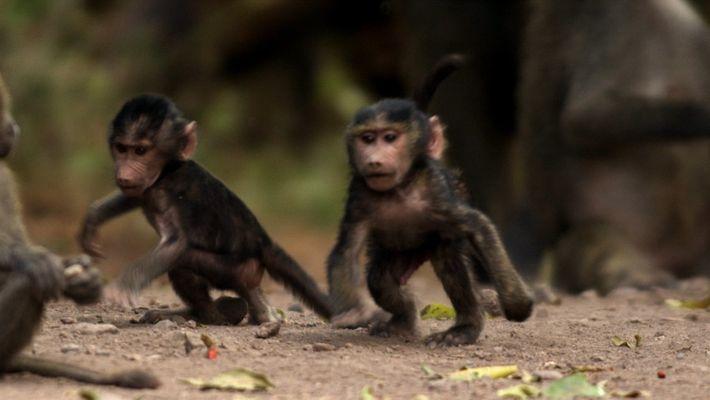 Babuínos-anúbis machos possuem péssimo temperamento— mesmo com os filhotes