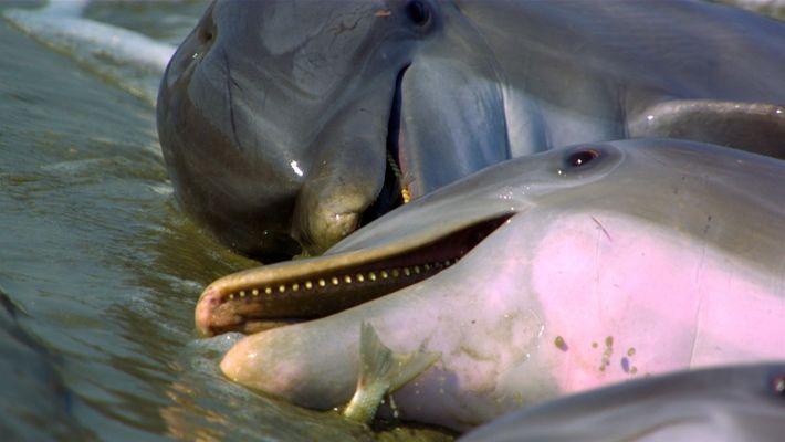 Habilidade de caça dos golfinhos-nariz-de-garrafa