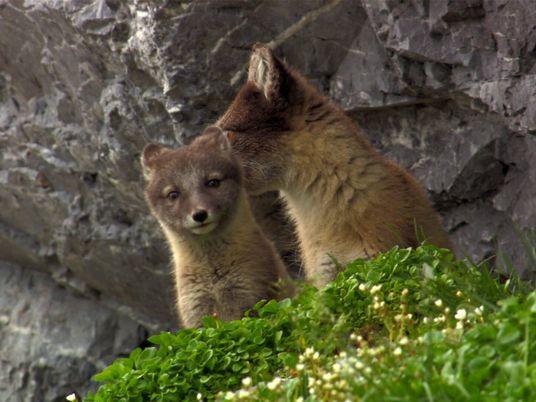 Com pelagem de verão, esta família de raposas-do-ártico sai para caçar