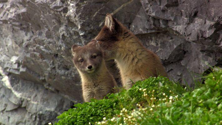 Vestidas com a pelagem de verão, estas raposas-do-ártico saem para caçar