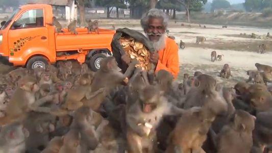 Homem é filmado alimentando um bando de macacos