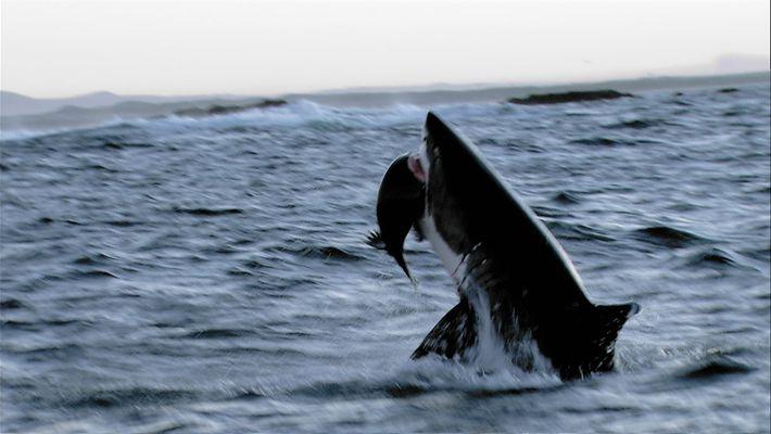 Tubarões-brancos contra lobos-marinhos – veja quem vence a batalha