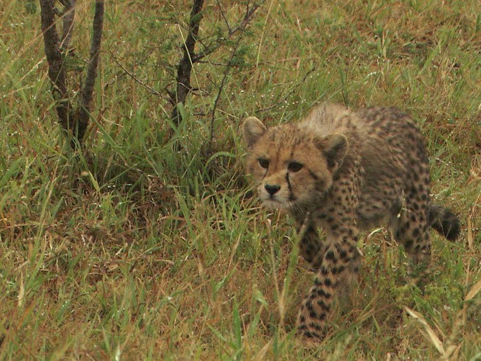 Com ajuda da mãe, filhotes de guepardo aprendem a caçar