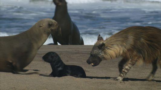 Fofos, mas vulneráveis: filhotes de lobo-marinho viram presa de hiena faminta