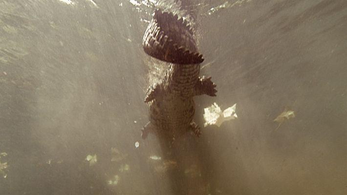 Crocodilo devora zebra no Serengeti