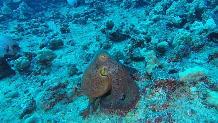 Polvo muda de cor e impressiona mergulhador