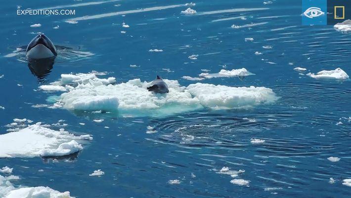 Assista a uma foca-caranguejeira fugir de um grupo de orcas famintas
