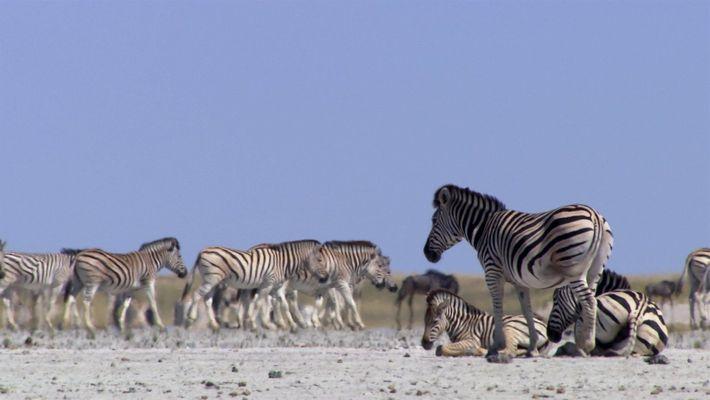 Zebras se arriscam todos os anos para chegarem a este lugar