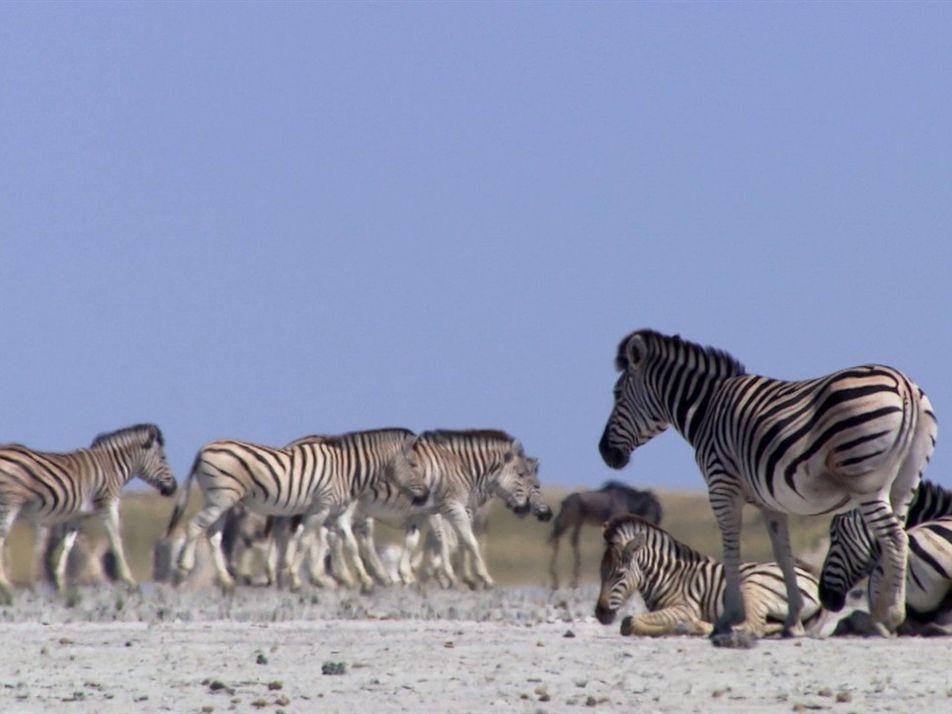 Zebras se arriscam todos os anos para chegar neste lugar árido