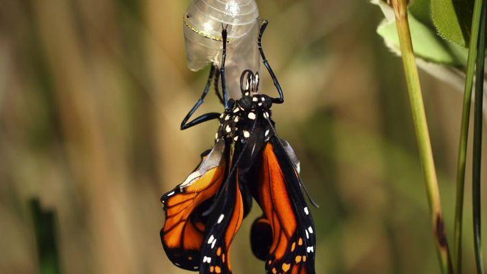Veja como acontece a transformação da lagarta em borboleta