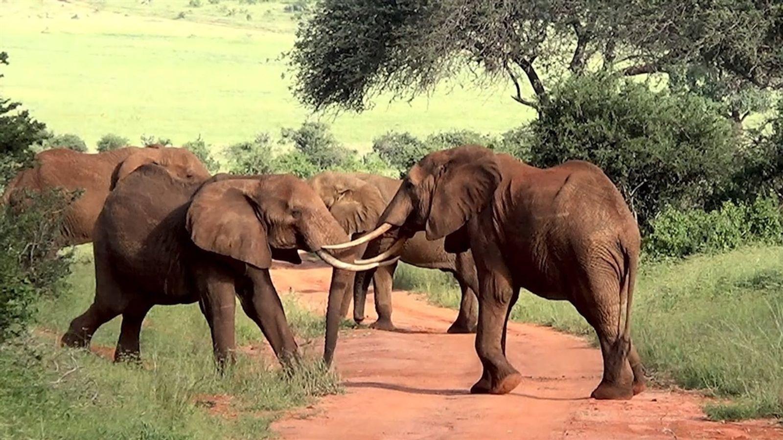 Em cena rara, cinco elefantes são vistos brigando