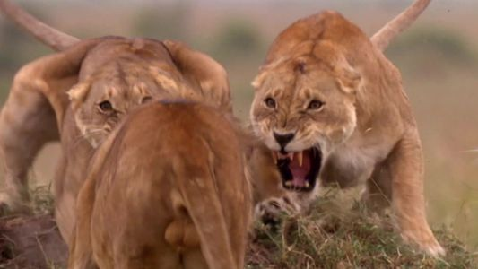 Clube da Luta dos Animais: Por que eles brigam?