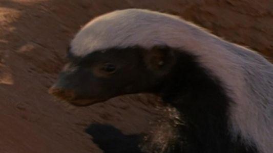 Top 10 Filhotes Selvagens, no Nat Geo Wild: Ratel corajoso