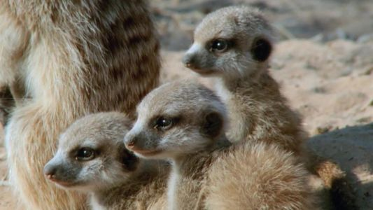 Top 10 Filhotes Selvagens, no Nat Geo Wild: Vida dos suricatos