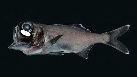 Veja como esse cardume de peixes pequeninos utiliza bactérias para brilhar no escuro