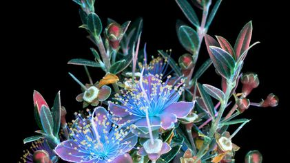 Pictures Capture the Invisible Glow of Flowers - 2