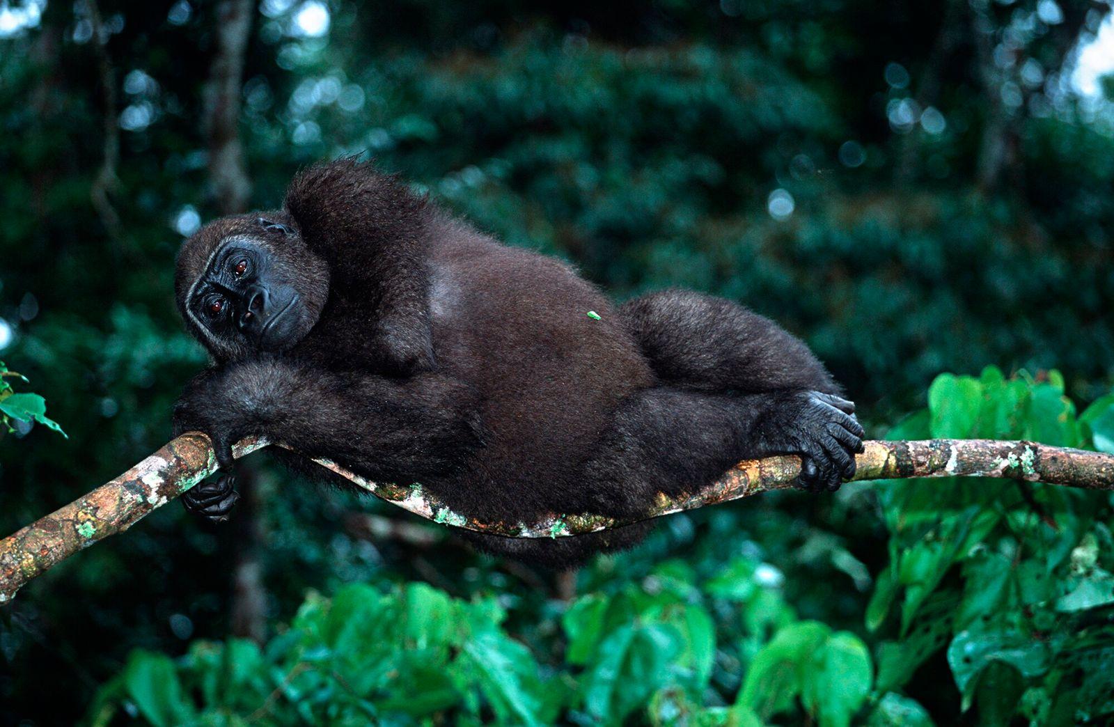 Gabão   Desde 2005, o Projeto Gorilas de Loango vem acostumando gorilas das planícies ocidentais a ...