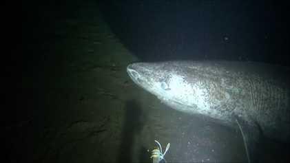 Raríssimo tubarão-da-groenlândia é filmado sob o Ártico