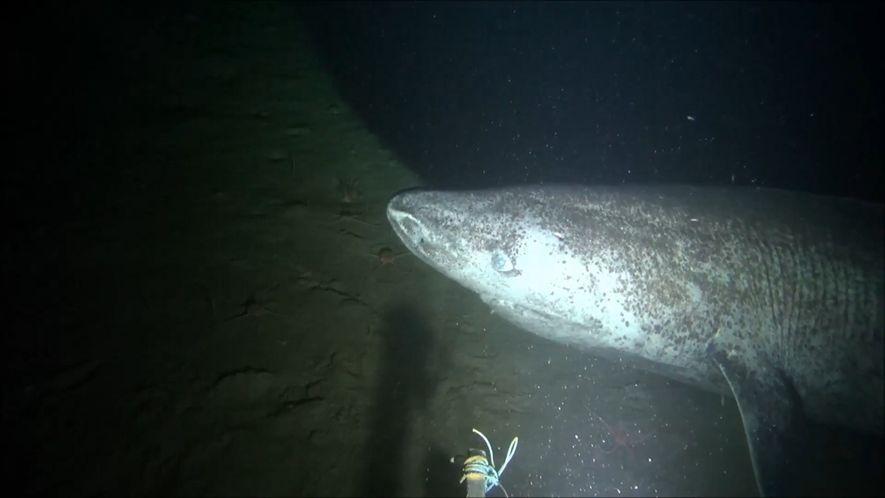 Raríssimo tubarão-da-groenlândia é filmado no Ártico