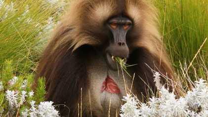Por que os geladas – ou macacos-de-coração-em-sangue – carregam uma marca no peito